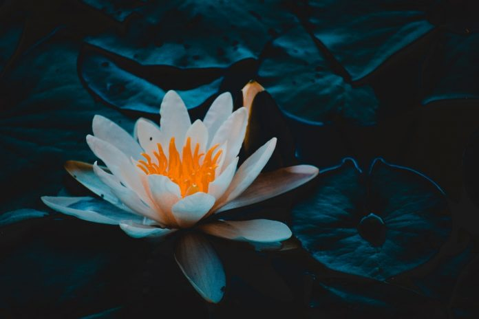 A single white water lily against a dark background.